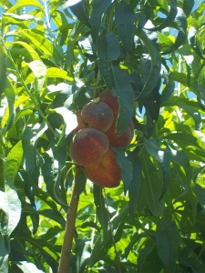 Schnepf Farm Peach Picking - Two Second Street - www.twosecondstreet.com