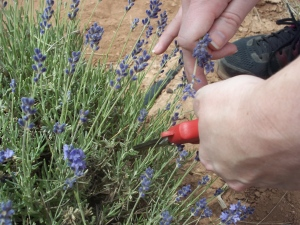 Picking Lavender - Two Second Street - www.twosecondstreet.com