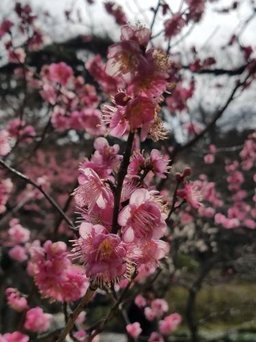 Plum Blossoms at Koishikawa Korakuen - Two Second Street - www.twosecondstreet.com