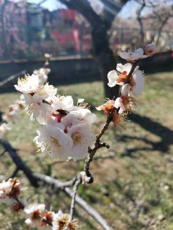 Ogose Plum Blossom Festival - Two Second Street - www.twosecondstreet.com