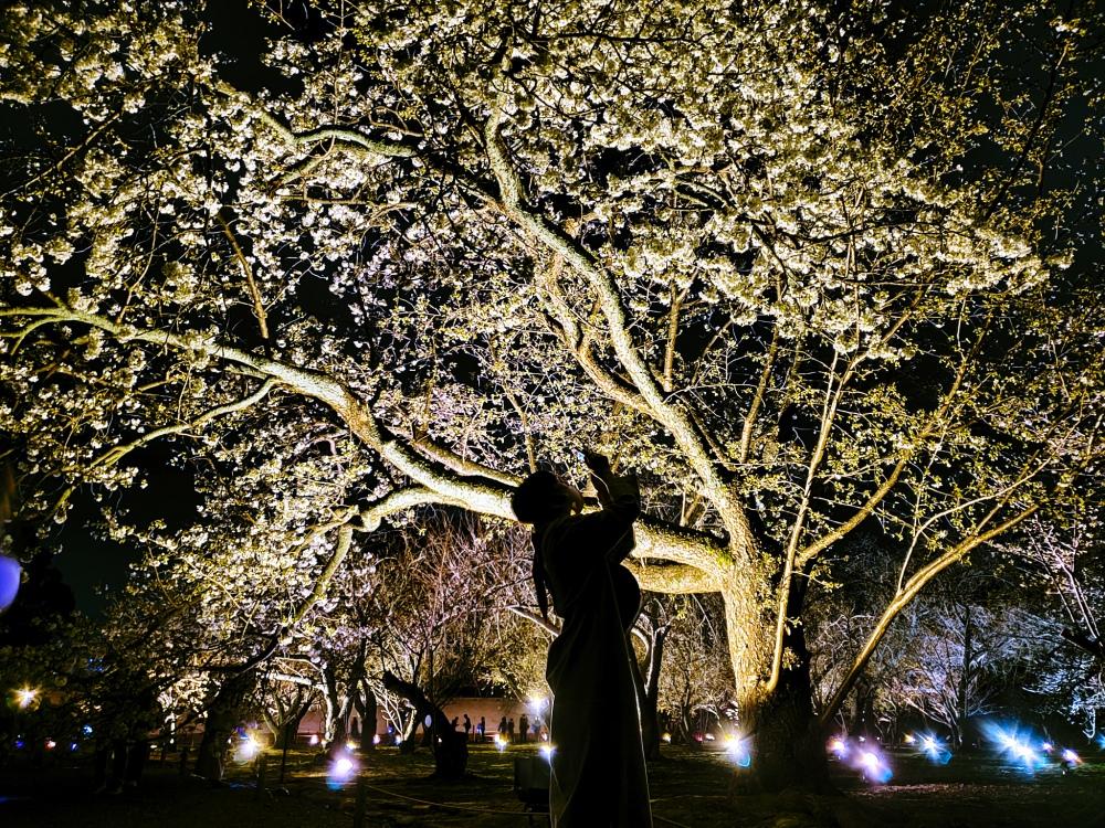 Illuminated Sakura at Nijo - Two Second Street - www.twosecondstreet.com
