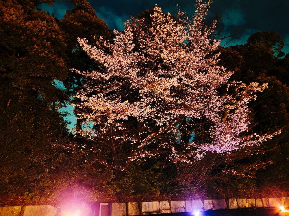 Illuminated Cherry Blossom at Nijo - Two Second Street - www.twosecondstreet.com